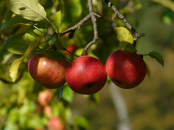 apples in the farm
