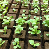 rockwool cubes with seedling