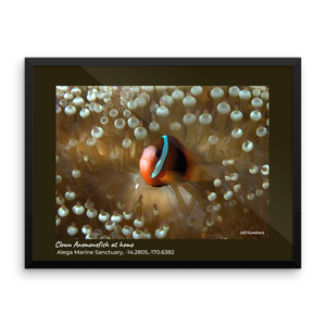 """Nemo"" (Clown Anemonefish) at home"" framed poster"