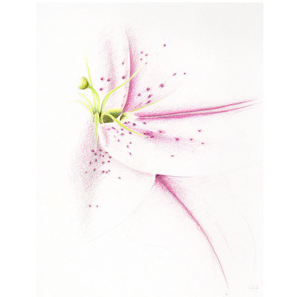 magnifique illustration fleur de lys, crayon de bois, watercolor, magenta, rose, pink, vert jaune, yellow green, Edemota, Edwidge De Mota