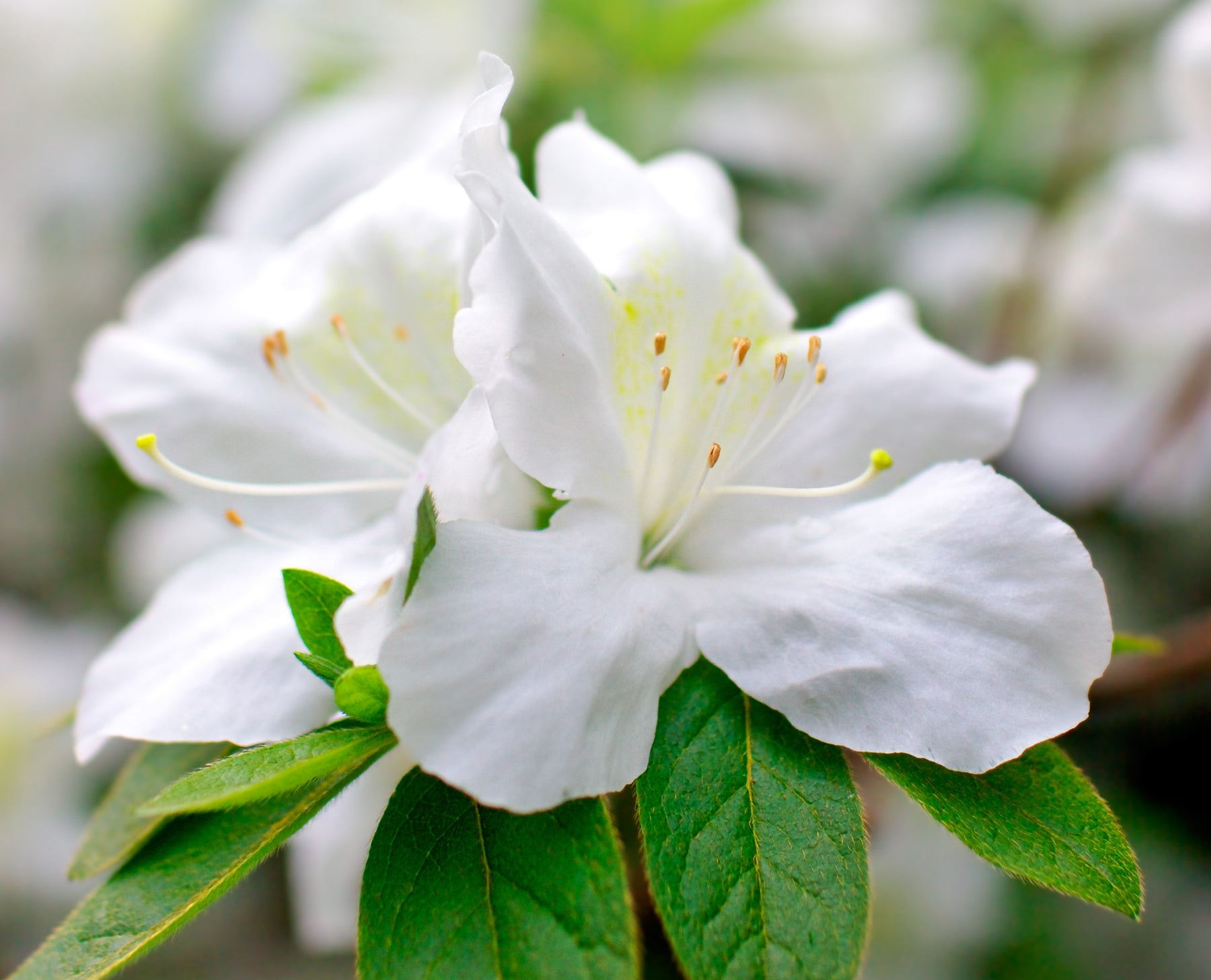 The South's Beautiful Azalea