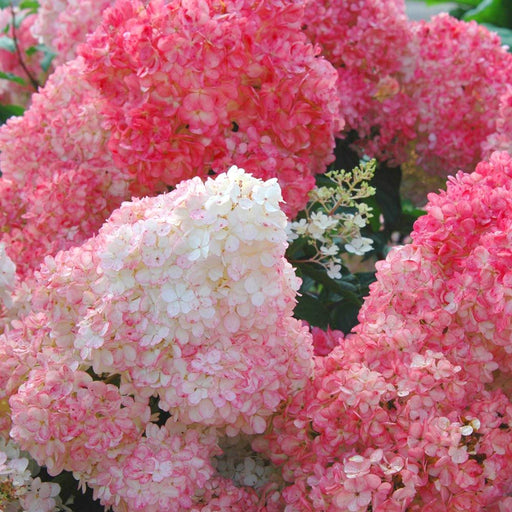 Vanilla Strawberry™ Hydrangea - Outside.com