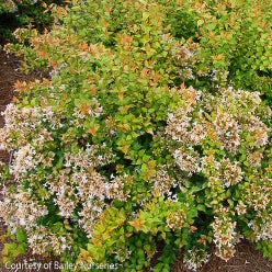 Eternal Sunshine™ Abelia - Buy Plants Online