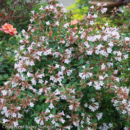 'Edward Goucher' Abelia