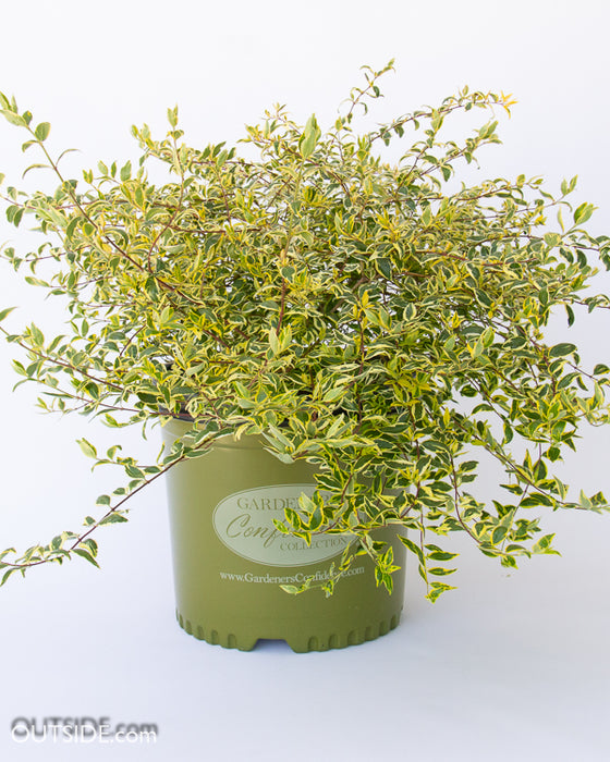'Hopleys' Twist of Lime™ Abelia - Buy Plants Online