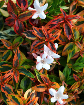 'Kaleidoscope' Abelia - Outside.com