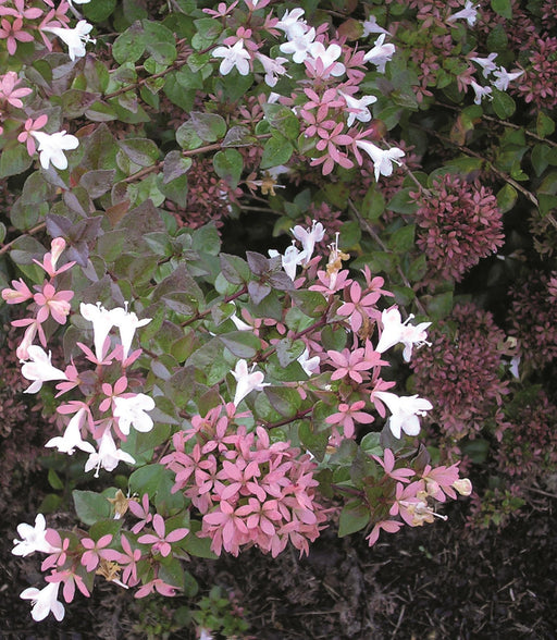 'Rose Creek' Abelia