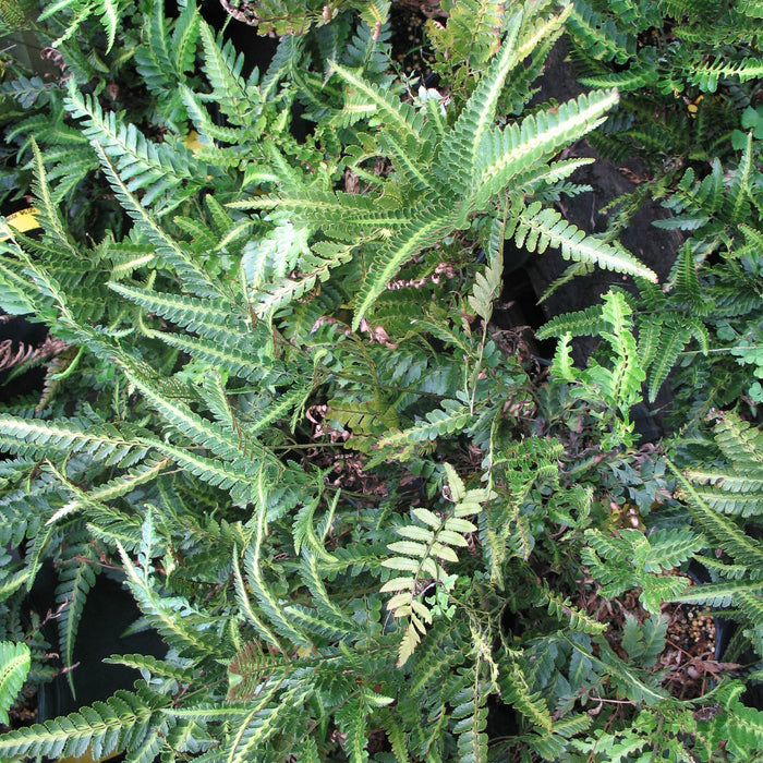 East Indian Holly Fern - Outside.com