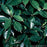 Sawtoothed Japanese Laurel - Buy Plants Online