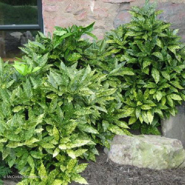 Variegated Gold Dust Plant - Buy Plants Online