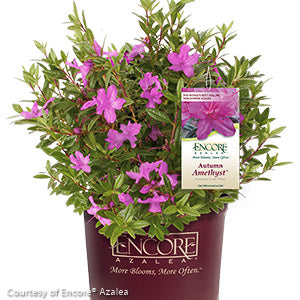 Encore® Autumn Amethyst™ Azalea - Buy Plants Online