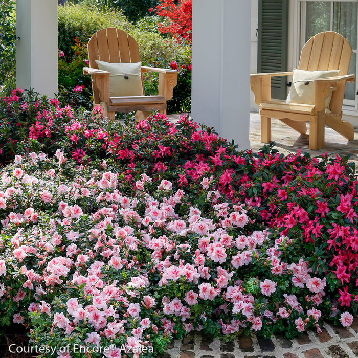 Encore® Autumn Belle™ Azalea - Buy Plants Online