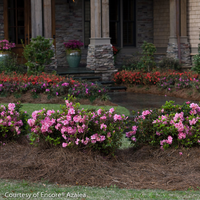 Encore® Autumn Carnation™ Azalea lifestyle shot
