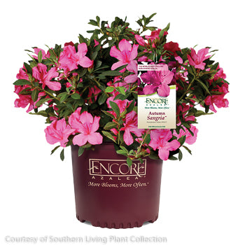 Encore® Autumn Sangria™ Azalea - Buy Plants Online