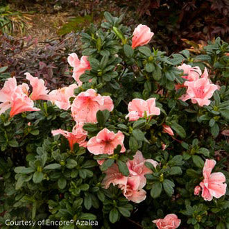 Encore® Autumn Sunburst™ Azalea - Buy Plants Online