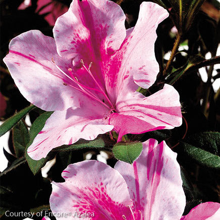 Encore® Autumn Twist™ Azalea - Outside.com