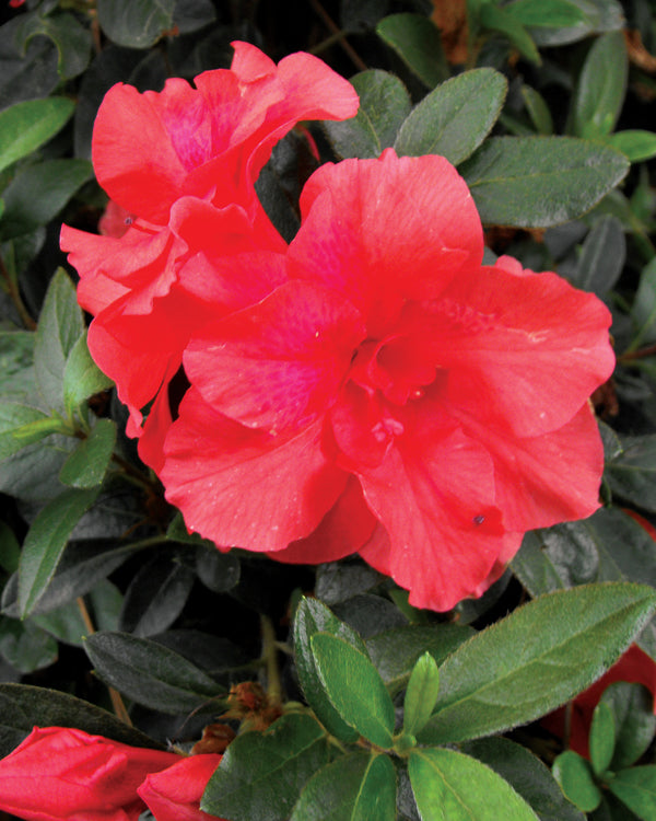 Bloom 'N Again® 'Fireglow' Azalea - Buy Plants Online