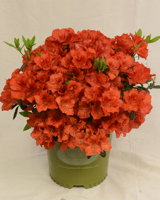 Bloom 'N Again® 'Fireside Red' Azalea - Buy Plants Online