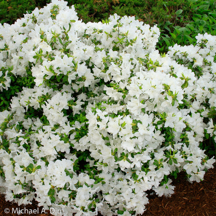 'Delaware Valley White' Azalea - Buy Plants Online