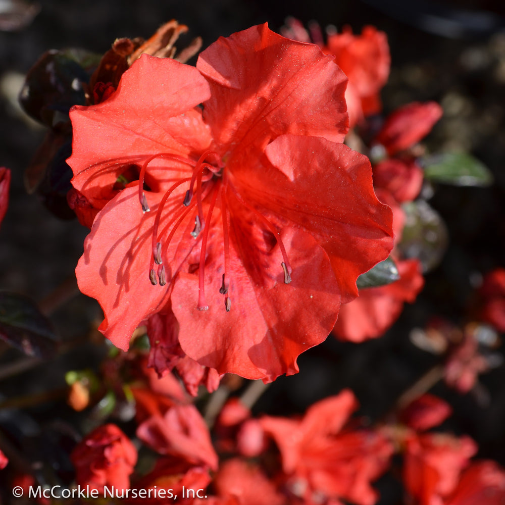 'Girard's Hot Shot' Azalea - Buy Plants Online