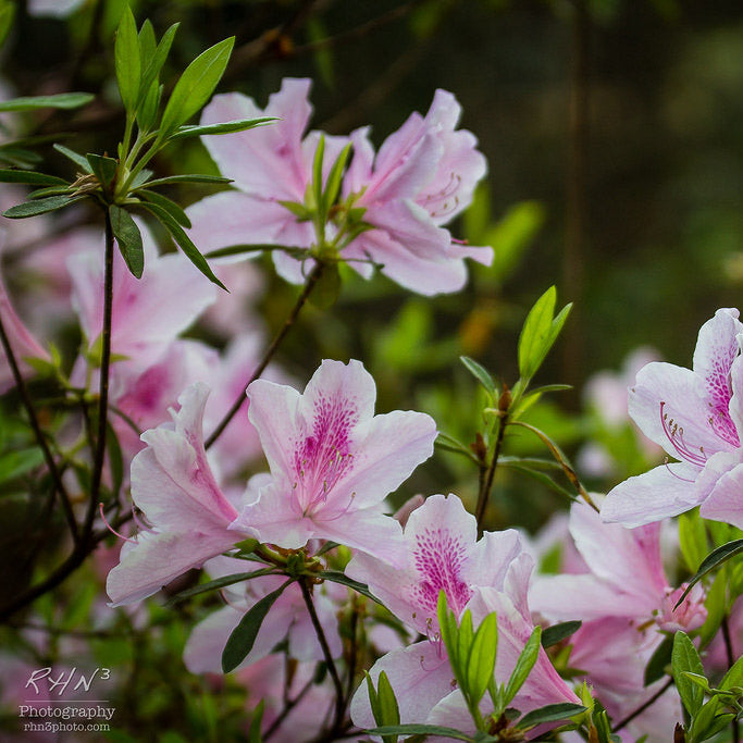 'George Lindsey Taber' Azalea up close, bloom