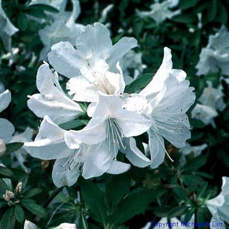 'Mrs. G. G. Gerbing' Azalea - Buy Plants Online