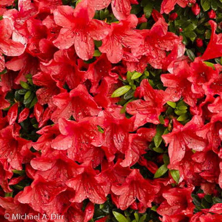 'Red Formosa' Azalea - Buy Plants Online