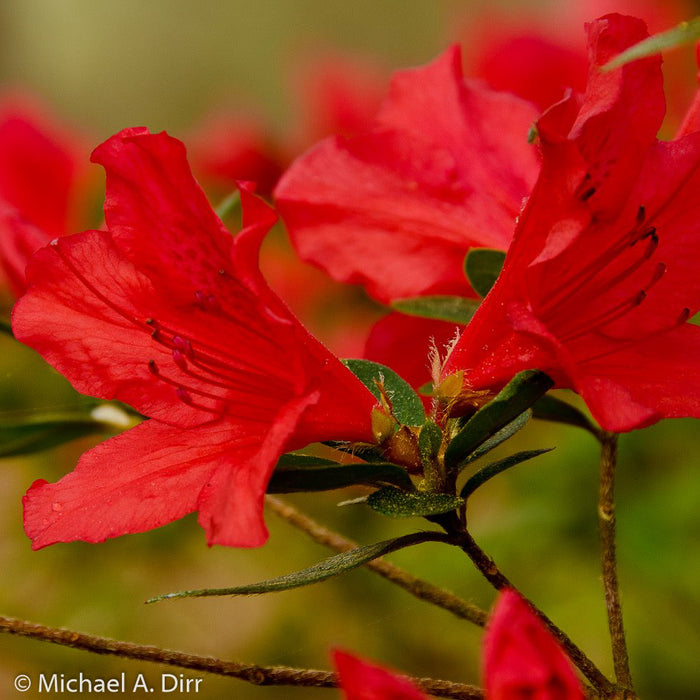 'Red Formosa' Azalea up close, bloom