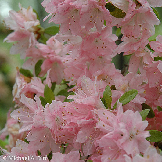 'Pink Pearl' Azalea - Outside.com
