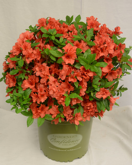 Bloom 'N Again® Orange Frost Azalea - Buy Plants Online