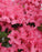 Bloom 'N Again® 'Pink Explosion' Azalea - Buy Plants Online
