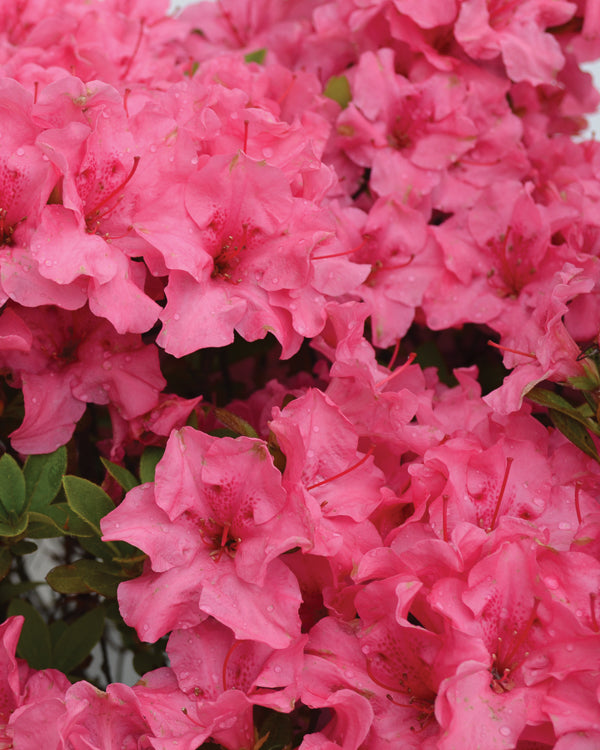 Bloom 'N Again® 'Pink Explosion' Azalea