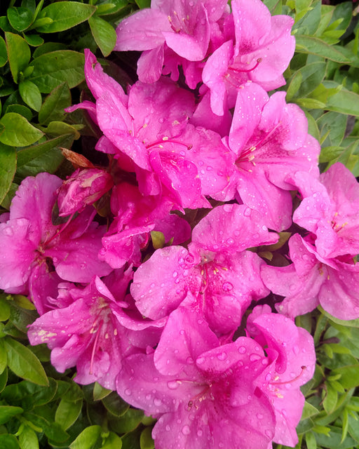Bloom 'N Again® 'Purple Fusion' Azalea - Buy Plants Online