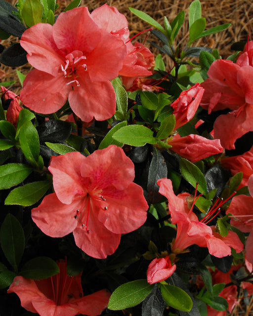 Bloom 'N Again® Peachy Keen Azalea - Buy Plants Online