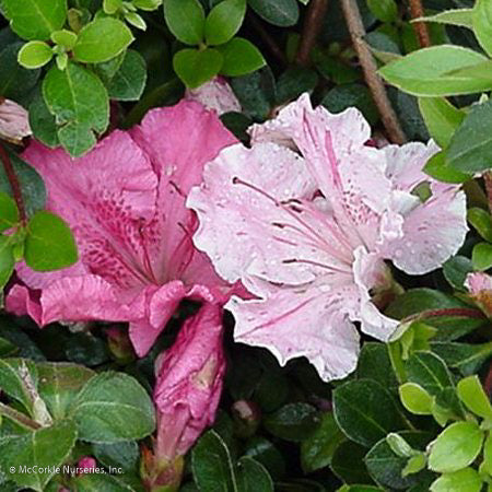 'Conversation Piece' Azalea - Buy Plants Online