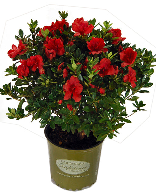 Bloom 'N Again® 'Rojo' Azalea - Buy Plants Online