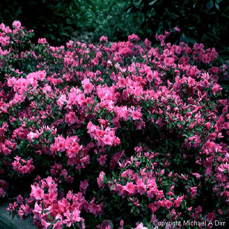 'Pink Ruffle' Azalea - Outside.com