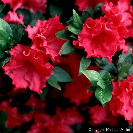'Red Ruffles' Azalea - Buy Plants Online