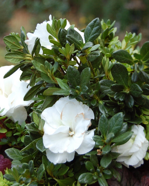 Bloom 'N Again® Snowball Azalea - Buy Plants Online