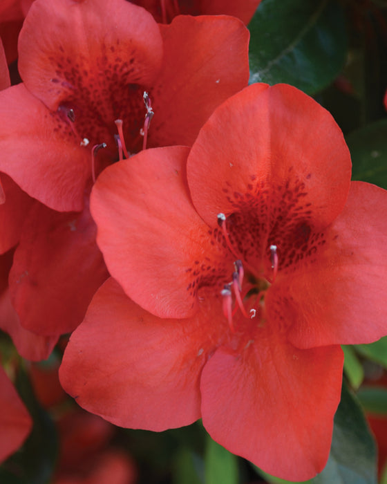 Bloom 'N Again® 'Strawberry Kiss' Azalea - Buy Plants Online