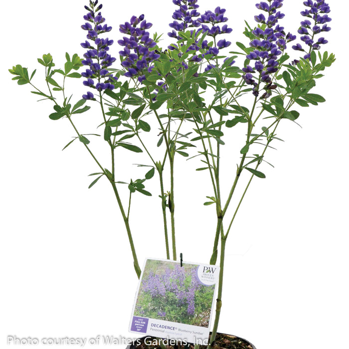 Decadence® 'Blueberry Sundae' False Indigo - Buy Plants Online