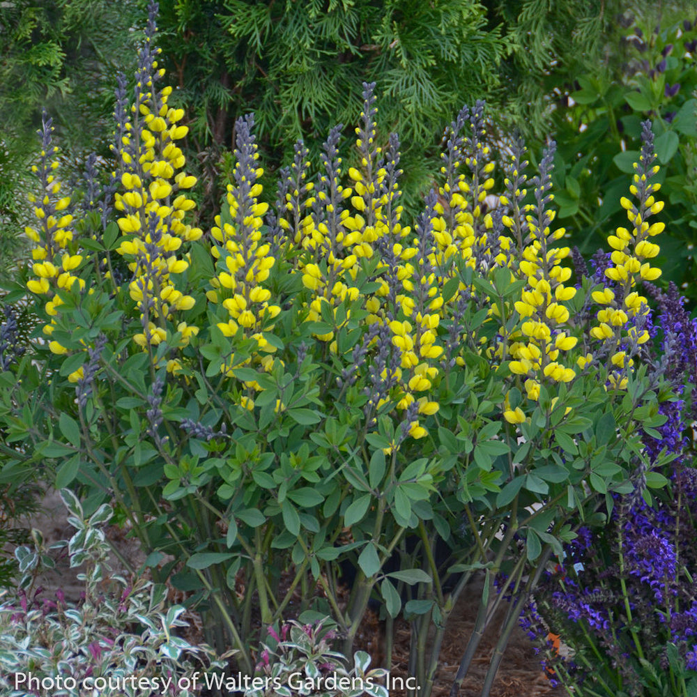 Decadence® 'Lemon Meringue' False Indigo