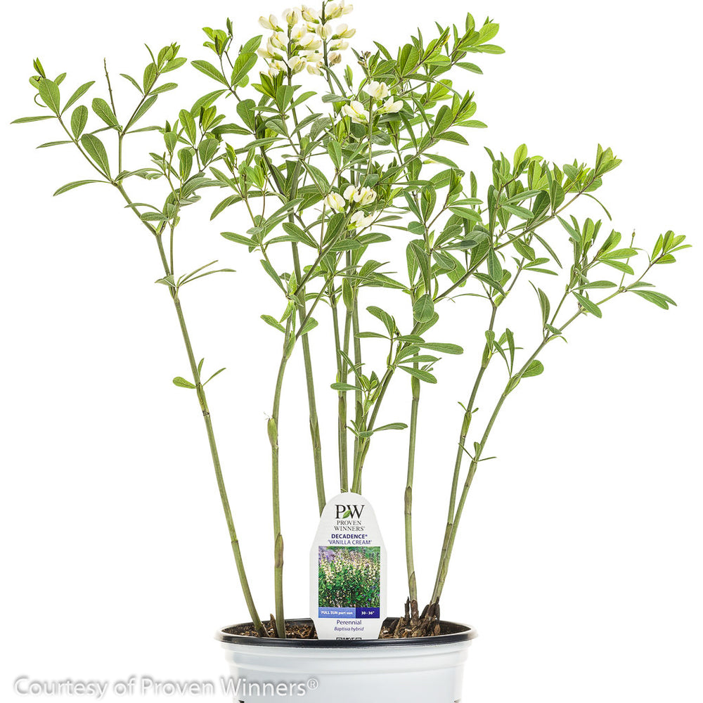 Decadence® 'Vanilla Cream' False Indigo - Buy Plants Online