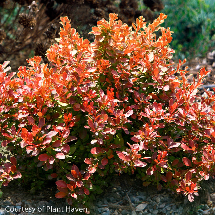 'Admiration' Barberry