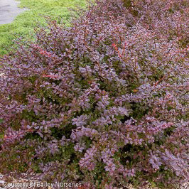 'Crimson Pygmy' Barberry - Buy Plants Online