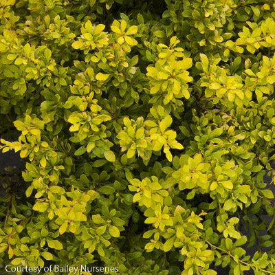 'Daybreak' Barberry