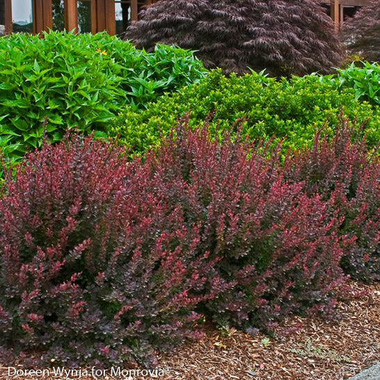 Royal Burgundy® Barberry - Buy Plants Online