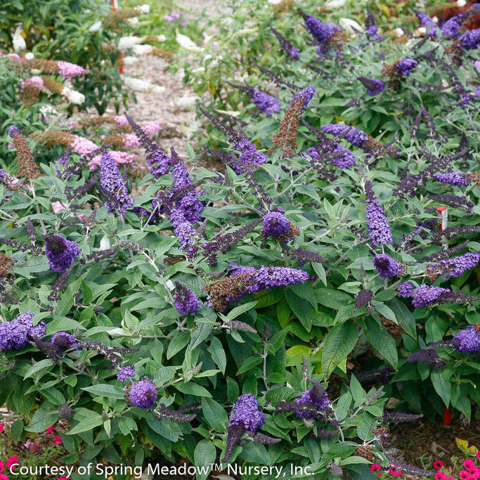 Pugster Blue® Butterfly Bush - Buy Plants Online