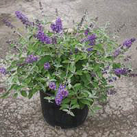 Flutterby Petite® Blue Heaven Butterfly Bush in container