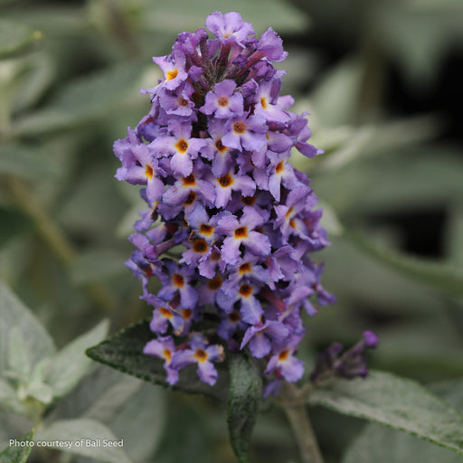 Flutterby Petite® Blue Heaven Butterfly Bush up close, bloom